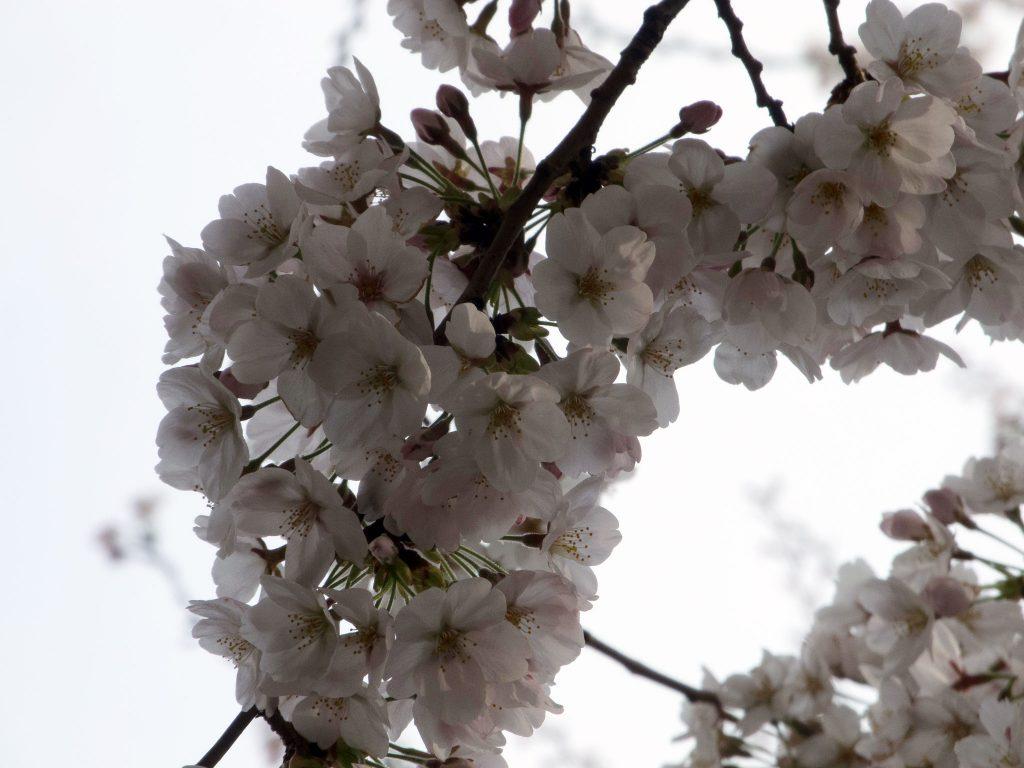 図1.お昼過ぎに撮影した桜の写真
